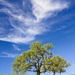 Oak and Cloudscape — Stock Photo #16488139