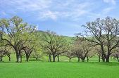 Oaks and Grass — 图库照片
