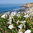 Stock Photo: Coastal Morning Glorys