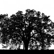 Stock Photo: Oak Tree Silouette