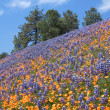 Lupine Poppy Hill - Stock Photo