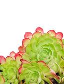 Cactus on White — Stock Photo