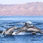 Double Dolphin — Stock Photo