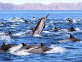 Dolphin Patrol — Stock Photo
