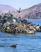 Sea Lions and Pelican — Stock Photo