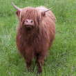 Foto Stock: One highland cow