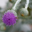 Thistle with horsefly - Stock Photo