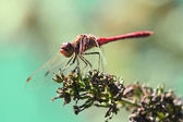 Dragonfly resting on a plant — Stockfoto