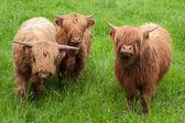 Trois vaches highlands — Photo