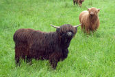 Two Highland Cows — Stock Photo
