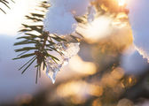 Icicle on a fir — Stock Photo