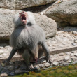 Screaming Pavian — Stockfoto