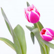 Tulip in front of white background — Stock Photo #23156540