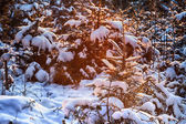Snow on fir in winter — Stock Photo