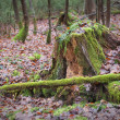 Stock Photo: rootstalk in the forest