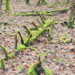 Rootstalk in the forest — Stock Photo