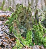 Orman rootstalk — Stok fotoğraf
