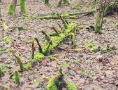 Rootstalk in het bos — Stockfoto