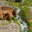 Brownbear walks to waterfall — Stock Photo