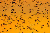 Swarm of Bats — Stock Photo