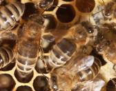 Bina i en bikupa — Stockfoto