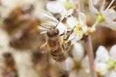 Honey bee samla pollen — Stockfoto