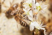 Honey bee collect pollen — Stock fotografie