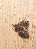 Två honungsbin på trä — Stockfoto