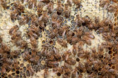 Bees in a beehive — 图库照片