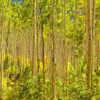 Forest of Golden Aspen Trees — Stock Photo #17138291