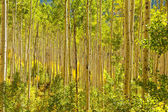 Forest of Golden Aspen Trees — 图库照片