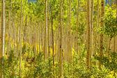金白杨树木的森林 — 图库照片