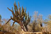 Kaktus i mexiko — Stockfoto