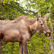 Bull Moose in Alaska — Stock Photo