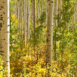 Aspen Trees in Colorado - Stock Photo