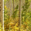 Aspen Trees in Colorado — Stock Photo