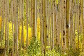 Golden Aspen Trees in Autumn — Stock Photo