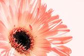 Zachte roze gerber daisy — Stockfoto