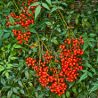 Nandina Shrub - Stock Photo