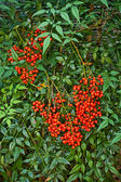 Nandina Shrub — Stock Photo