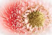Soft Gerber Daisy — Stock Photo