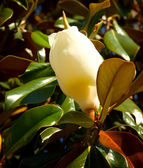 Beautiful Florida Magnolia Flower — Stock Photo