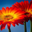 Gerber Daisy — Stock Photo #24276825