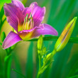 Day Lily — Stock Photo #26474879