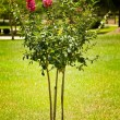 Stock Photo: Crape Myrtle Tree