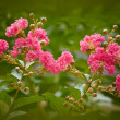 Crape Myrtle Tree — Stock Photo