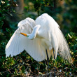 Stock Photo: Great White Egret