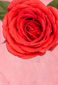 Valentine's Day Rose — Stock fotografie