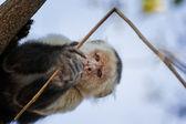 White-Faced Monkey — Stockfoto