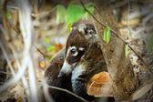 Coati — Stock Photo